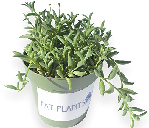Fat Plants San Diego Trailing Succulent Collection (3.75 Inch, String of Bananas)