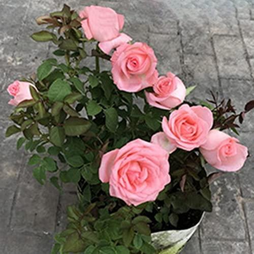 Lichtroze rozenzaden, 1 zak zaden productieve hoge opbrengst natuurlijke hoge overlevingskans rozenzaden voor ideaal…