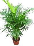 Olive Grove - Pianta da interno, per ufficio o appartamento, varietà Chrysalidocarpus lutescens / Areca catechu / Palma, altezza 1,1 m