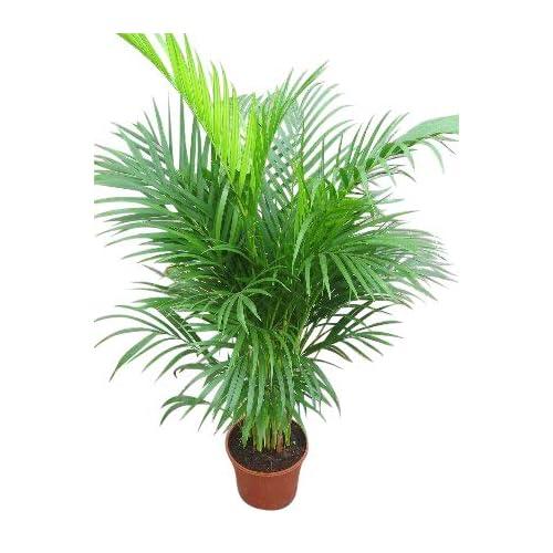 Plante d'intérieur - Plante pour la maison ou le bureau - Chrysalidocarpus lutescens - Palmier Areca - Palmiste multipliant, hauteur 1,1m