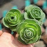 Tipo di prodotto: Bonsai. Stile: vivace. Tipo di pianta: piante grasse. Uso: casa, giardino, esterno, interno, balcone, ecc. Quantità: 100 pezzi/busta.