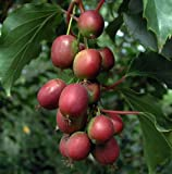 zone 5 fruit trees - Hirt's 2 Hardy Kiwi Plants - Actinidia - Ken's Red Female and Male - 2.5