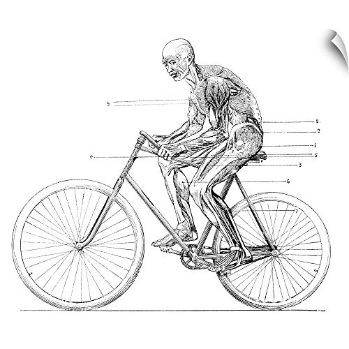 CANVAS ON DEMAND Muscles Used in Cycling, 19th Century Wall Peel Art Print, 60