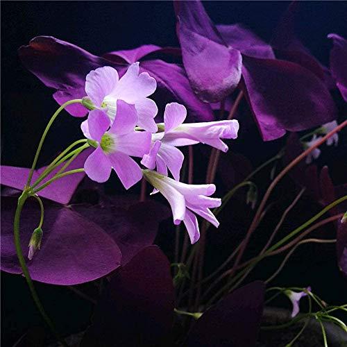 Purple Shamrock Bulbs 10pcs Oxalis Triangularis Organic Bulbs Plants Seeds Easy to Grow for Planting Home Garden Maine