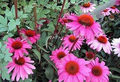 50 graines échinacée pourpre cône Magnus fleur GRAINES