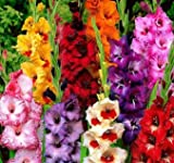 USA Made and Shipped from, Large Bulbs, (20) Attractive Flowers, Gladiolus, Border Growing Mix,Gladioli Bulbs, Plants, Perennial Root