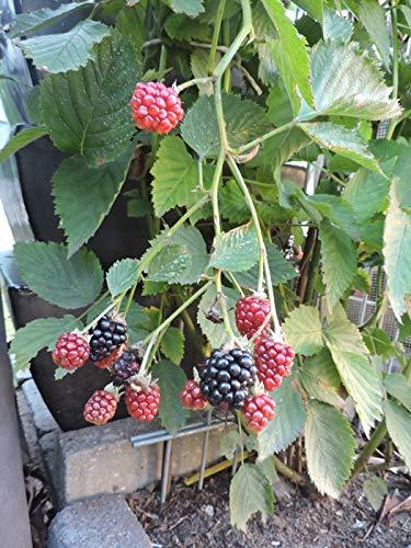 Rubus fruticosus 'Theodor Reimers' - (Brombeere 'Theodor Reimers')- Containerware 40-60 cm