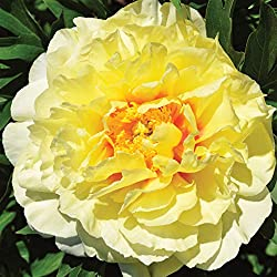 Itoh Peonies on amazon