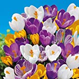 Crocus Species Mix (10 Bulbs) Purple, White, Yellow Perennial Bulb Mix. Made in USA, Ships from Our Iowa Nursery
