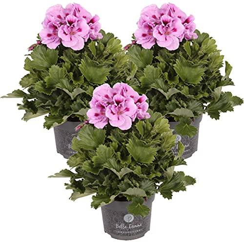 Französische Geranie | Pelargonium Rosa pro 3 Stück - Freilandpflanze im Anzuchttopf ⌀12 cm - ↕20-25 cm