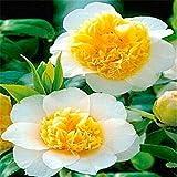Ferry 100 PC schöne Kamelie, Blume Bonsai-Baum, DIY Topfpflanzen, Indoor/Outdoor-Topf Familie leicht zu Pflanze Pflanzen: 17