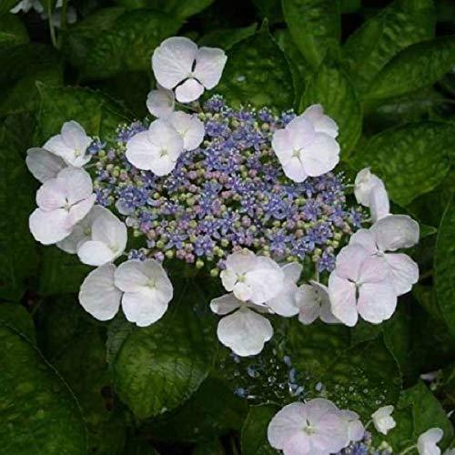 Hydrangea 'Teller White' - Tellerhortensie 'Teller White' 40-60 cm Pflanzcontainer