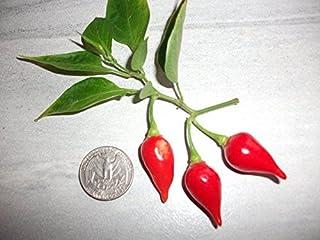 New Premium Heirloom Mild Biquinho Organic Pepper 25+ Seeds -D 47