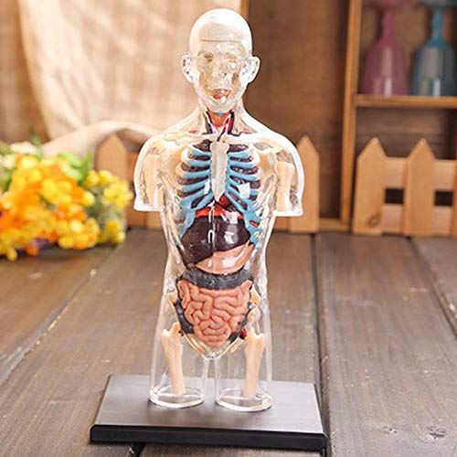 ZYT Montado Transparente Torso Humano Modelo anatomía