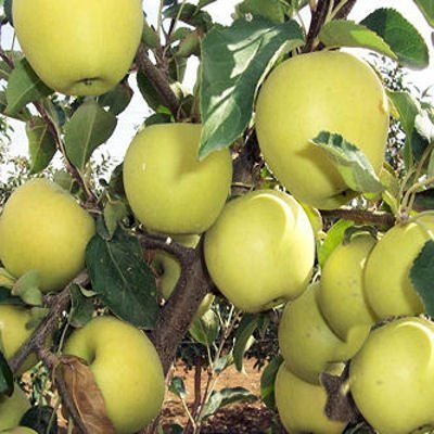SwansGreen Golden Delicious apple tree 10 seeds by Tropical Oasis