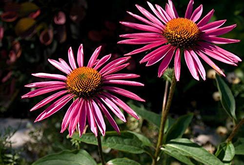 AGROBITS Echinacea purpurea Graines -Pica Bella - Monarch erflies- - 15 graines