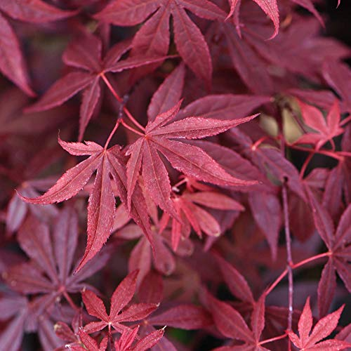 Japanese Maple, Acer Palmatum Atropurpureum, 1 x 3-Litre Potted Plant, Ideal for beds and Borders, Patio pots and containers