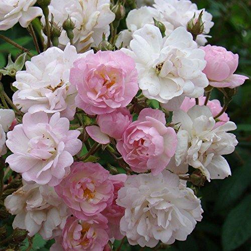 Ramblerrose`Guirlande Rose®´