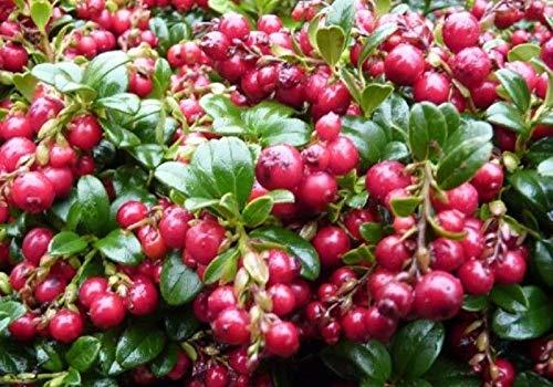 Vaccinium Vitis IDAEA 'RED Candy' - Lingonberry -...