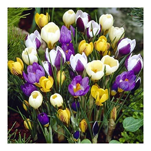 16 x Crocus Botanical Mixed – Provides Winter Garden Color- Welcome Sight- for a Beautiful Spring Garden
