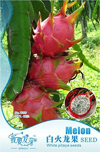 1 Packs originaux, 40 graines / paquet, Pitaya blanc à l'intérieur Rouge à l'extérieur, doux fruit du dragon, Pitaya Cactus, Délicieux Très # NF007