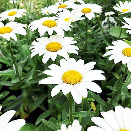 UtopiaSeeds Shasta Daisy Seeds