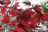 Semillas de arce japones (acer palmatum) (15)