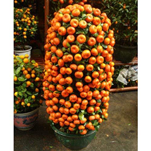 Portal Cool Süße Obstbaum-Samen Mandarine Samen für Innen Pflanze Bonsai-Baum