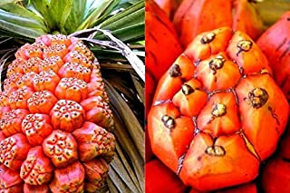 HANO Seeds Package: Pandanus Furcatus Himalayan Screw Pine Seed 3 Fresh Seeds Rare