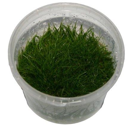 3 Dosen Elocharis parvula invitro, Nadelsimse, Wasserpflanzen steril angezogen