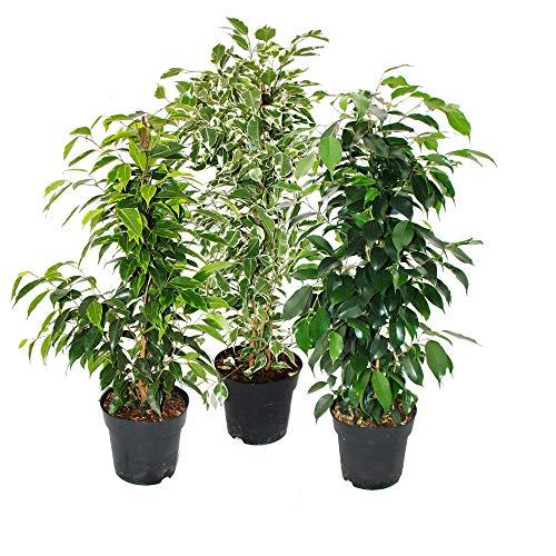 Exotenherz - Ficus benjamini - 3er Set - Anastasia - Twighlight - Danielle im 17cm Topf