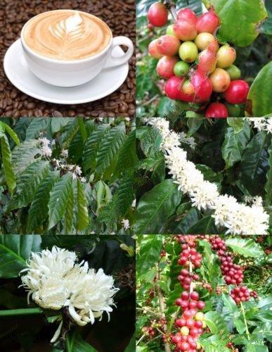 50 Graines Coffea arabica, Tropical grain de café Arbre Rare Arbuste Seed Cafe exotique