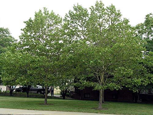 vegherb 500 amerikanische Platane-Baum-Samen, Platanus occidentalis