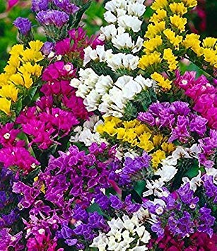 BloomGreen Co. Blumensamen: Marsh-Rosmarin Seeds Korb Küche Terrasse Gartenarbeit (12 Packets) Gartenpflanzensamen