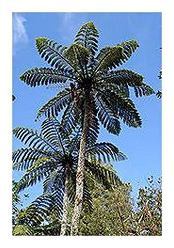 Cyathea sp. Tiny Top - Fougère arborescente - 10 graines