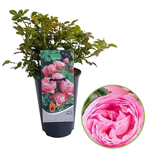 "Rosa floribunda ""Leonardo da Vinci"" | Strauchrose | Rosa Rosen | Duftend | Höhe 40 cm | Ø-17 cm"
