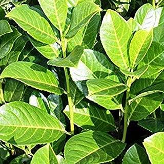 20 : Sycamore Trading Common OR Cherry Laurel Prunus laurocerasus (20)