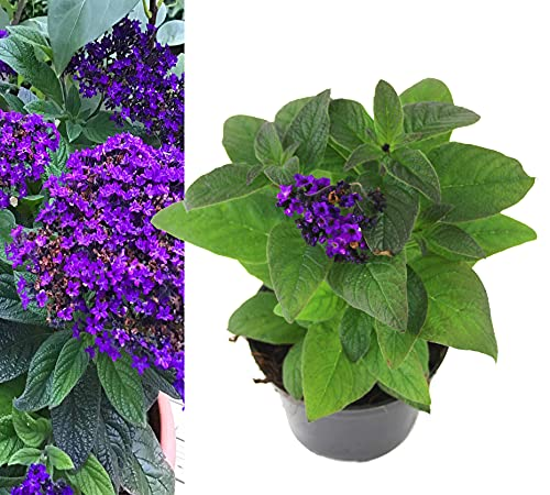 Isenzo Balkonpflanze lebende Pflanze Heliotrop blühende Pflanze Sonnenwenden Heliotropium blühende Duftpflanze