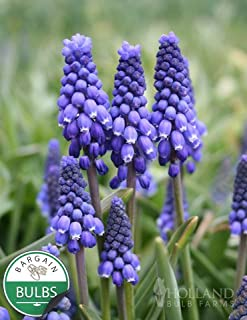 Blue Grape Hyacinth or Muscari
