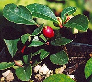 35+ Wintergreen Gaultheria Procumbens Flower Seeds/Perennial