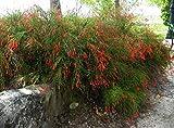 Sandys Nursery Online Firecracker Red Russelia Equisetiformis, Fountainbush, Lot of 2, Starter Plants