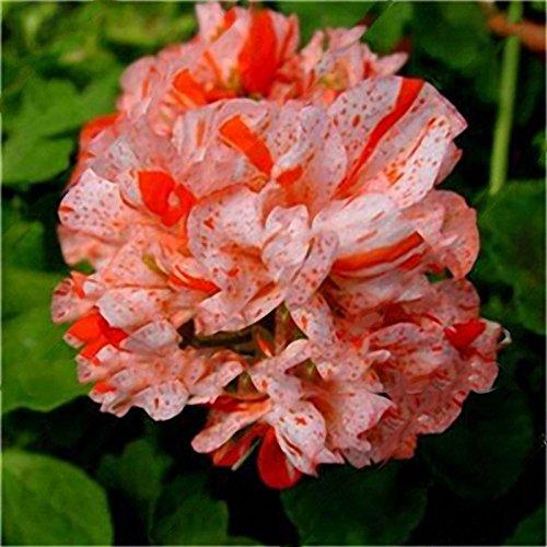 Inovey 100 Pcs Jardin Géranium Semences Rares Fleurs en Pot Plantes Vivaces Décoration Extérieure - 1