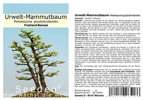 Seedeo® Urwelt-Mammutbaum (Metasequoia glyptostroboides) Bonsai 100 Samen