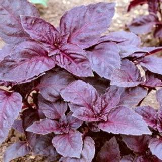 variegated basil seeds