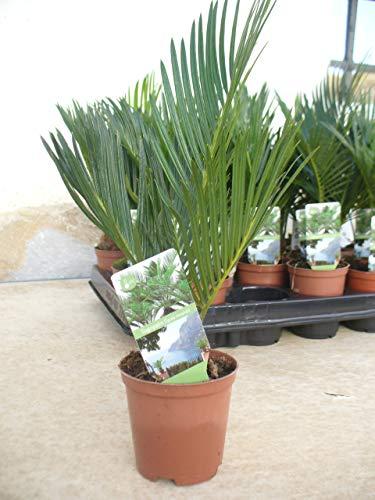 Cyca, cycas, mini, una planta/palmera mini en maceta (1)