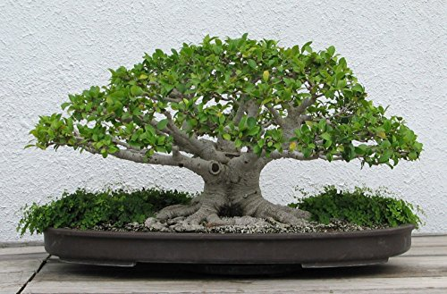 Banyan chinois (Ficus microcarpa) Graines d'arbres -USA- Bonsai 100200300