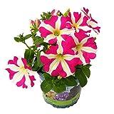 Pflanzen Kölle Hänge-Petunie 'Amore™ Pink Hearts', 6er-Set, pink-weiß, Topf 13 cm Ø