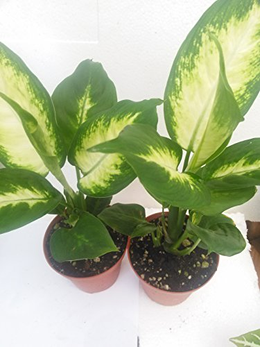 Two Splash Dieffenbachia - Easy to Grow Houseplant