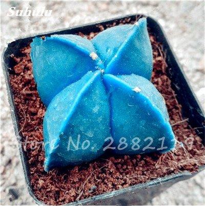 Succulentes graines fraîches 200 Pcs étoile à cinq branches charnus Graines rares Sempervivum Mix-kinds Fleurs Plantes Succulentes Bonsai pot