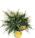 Fiore da Botanicly – Ginestra dei Carbonai – Altezza: 55 cm – Cytisus racemosus